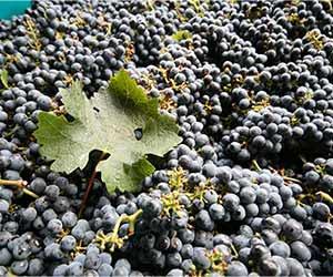 Cabernet Sauvignon Grapes<br>© Jonathan Reeve