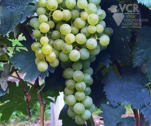 Passerina Grapes
