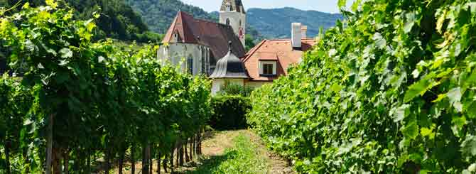 A typical vineyard in Austria
