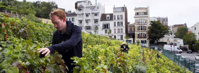 A volunteer harvests grapes at the vineyard of Montmartre, next to the Sacre Coeur Basilica