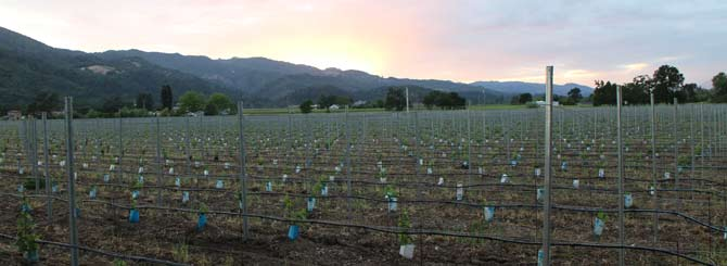 Sunset over a replanted vineyard in Napa
