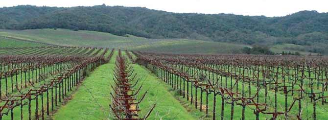 A Californian vineyard belonging to global producer E. and J. Gallo