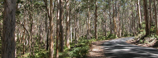 Huge karri forests, full of eucalyptus trees and snakes, surround the vineyards of WA.