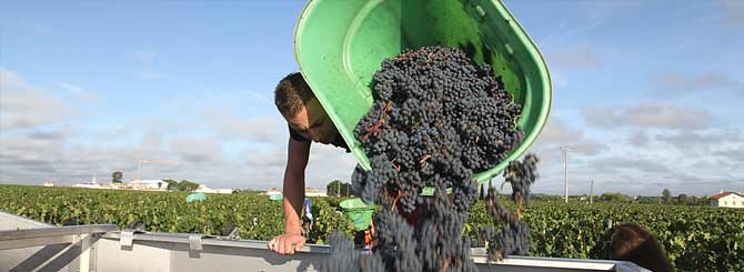 Although grape pickers have had to socially distance, the harvest was still picked in good time.