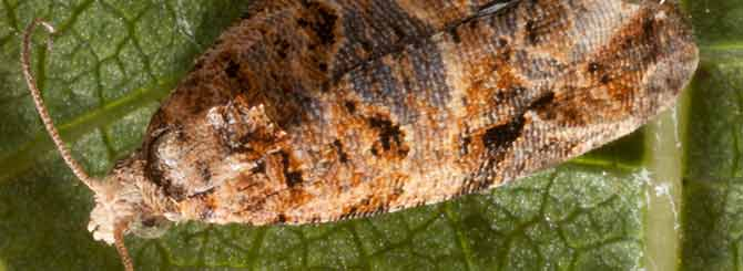 Some vineyards are using pheremones to control pests such as the European grapevine moth.