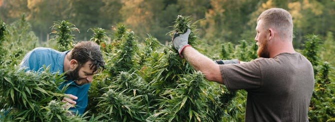 Most wineries were supportive of the cannabis industry, but many are having second thoughts.